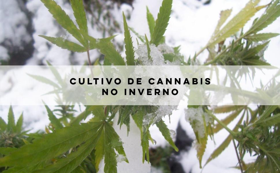 Dicas de cuidados no cultivo de cannabis durante o inverno