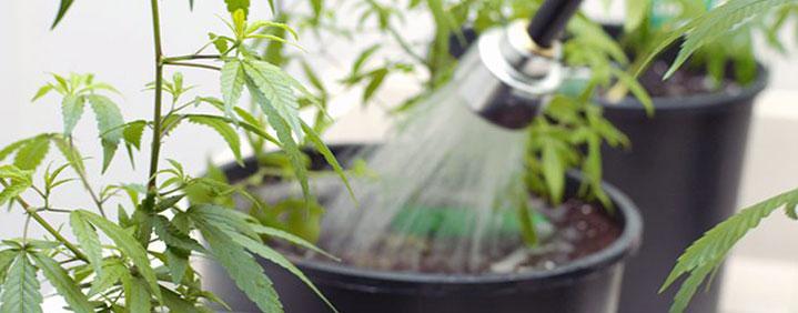 O que é flush? Você sabe a hora de fazer no seu grow?