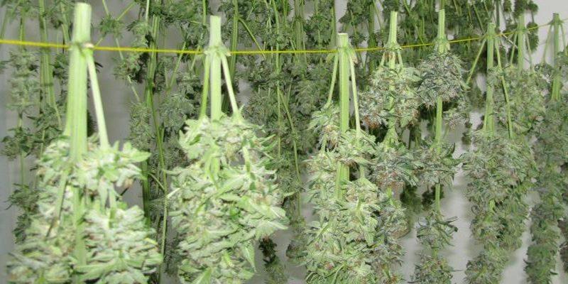 Guia para Secar e Curar Buds de Cannabis