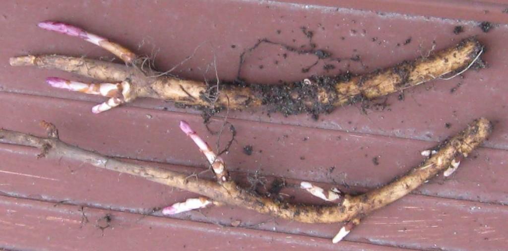 como cultivar lúpulo em casa
