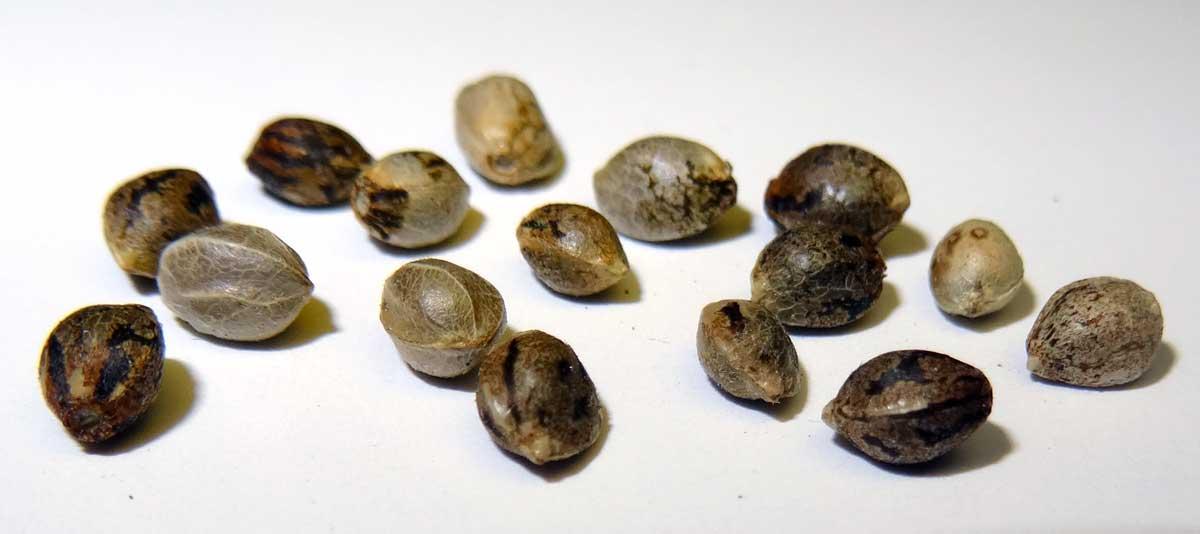 O que saber antes de plantar sua semente de maconha