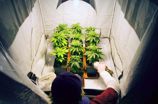 Prós e contras de cultivar várias espécies de cannabis