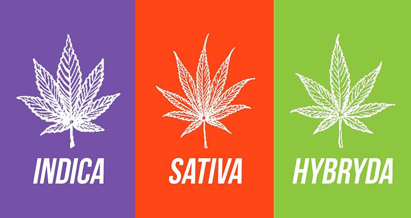 Conheça as Diferenças no Cultivo de Cannabis Híbrida, Sativa e Índica