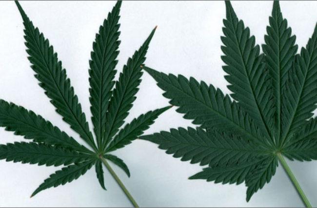 Indica versus Sativa: Quem tem mais THC e CBD?