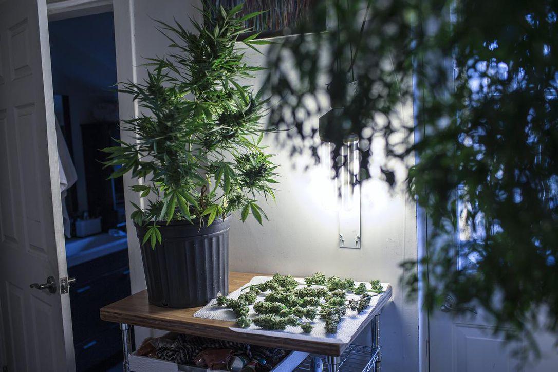 Dicas para melhorar a qualidade da sua cannabis