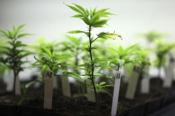 Clonar variedades automáticas de cannabis