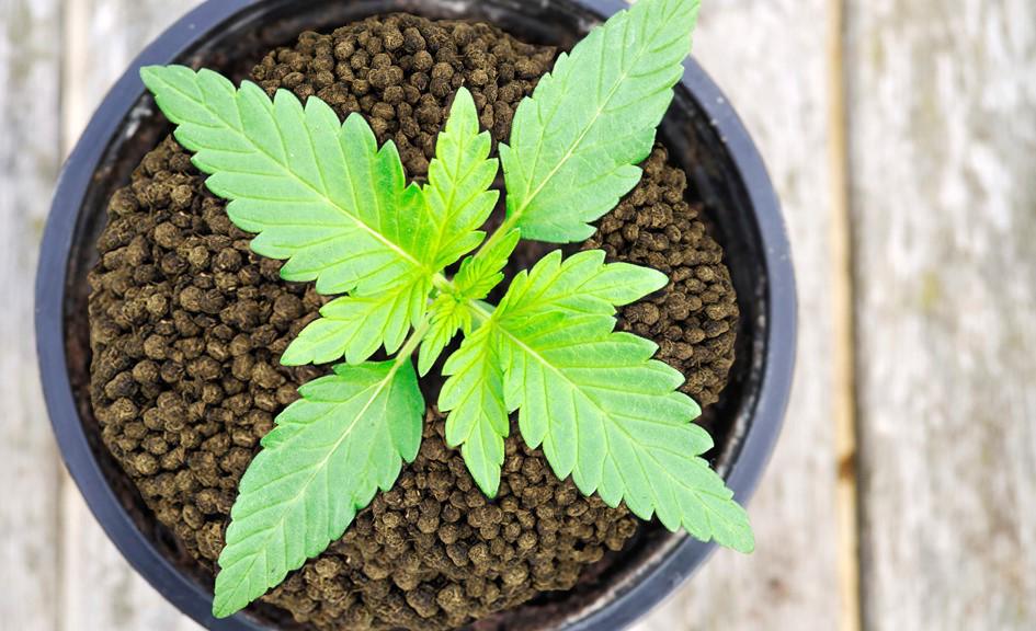Quais são as diferenças entre macro e micronutrientes na cannabis?
