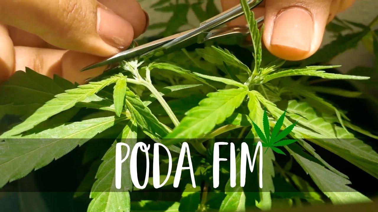 Poda FIM no cultivo de Cannabis: Conheça tudo sobre o assunto