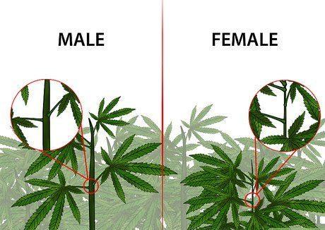 Como saber identificar o sexo da sua cannabis?!
